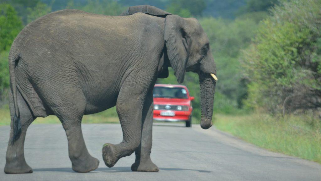 Ein Elefant überquert seelenruhig eine straße kurz vor einem Fahrzeug