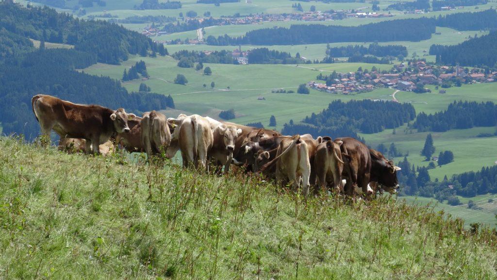 Kühe in den Hängen des bayerischen Allgäus.