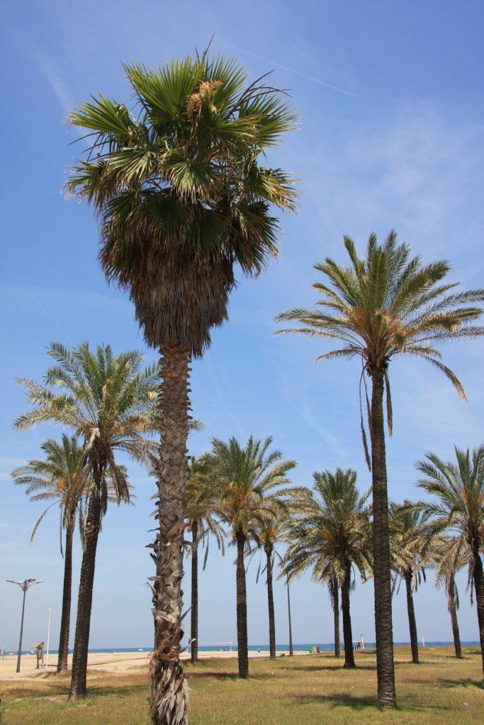 Palmenlandschaft am Strand in Valencia, Spanien.