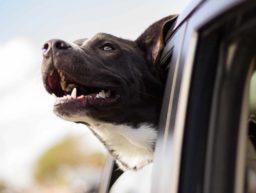 Hunde im Mietwagen mitnehmen